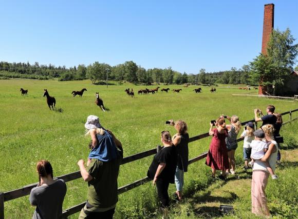Man behöver inte vara hästälskare för att uppskatta hästsläppet! Det är en fantastisk syn och en höjdare för de allra flesta. Hästarnas uppenbara glädje smittar av sig!