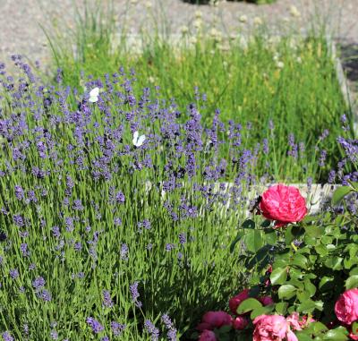 Det surrar av humlor och bin i kryddträdgården på Almare Stäket. Fjärilar i mängder finns det också, särskilt nu när lavendeln slagit ut.