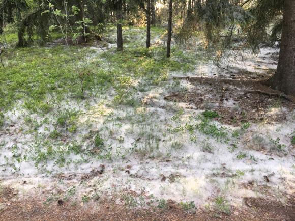 Aspblomningen har skapat ett minst sagt annorlunda fenomen i år: snödrivor av vitt fluff!