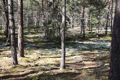 Mossor och lavar gör att marken ser inbjudande och mjuk ut mellan träden.Så vackert och vilsamt för själen!