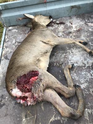 Det var vid lunchtid igår, tisdag, som en lösspringande hund bet ihjäl ett rådjur inför matte och en grupp förskolebarn.