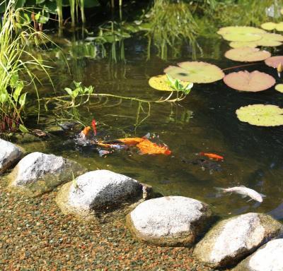 I dammen samsas koifiskar och näckrosor.