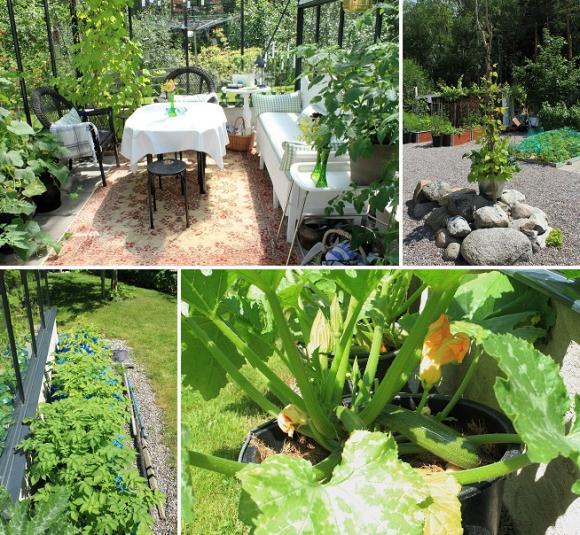 I växthuset trivs vinrankor och tomater. Utanför växer potatisen i en rad IKEA-kassar medan den första zuccinin redan är plockbar i krukodlingen.