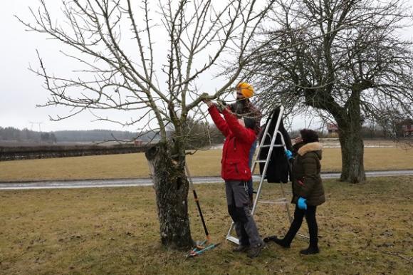 Man får inte ha för bråttom när man beskär träd! Deltagarna resonerade med varandra och med Lena i vilken vinkel grenarna skulle kapas och vilka grenar som skulle vara kvar.