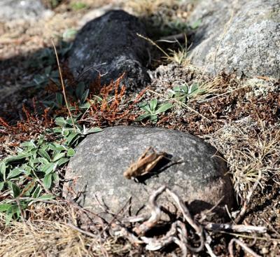 Trumgräshoppan är rödlistad och unik för Upplands-Bro. Vingarnas undersida är orange, vilket är ett kännetecken.