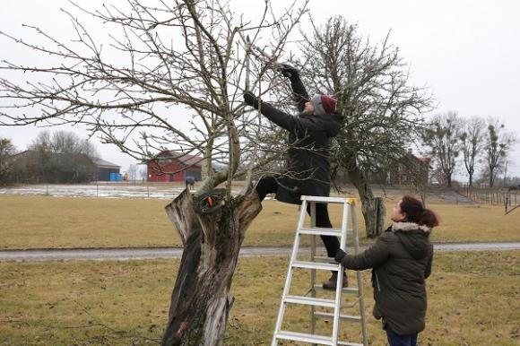 Växer grenen rakt upp? Då ska den bort. Växer grenen så att den korsar en annan eller kanske till och med skaper på en annan gren? Då ska den också bort.