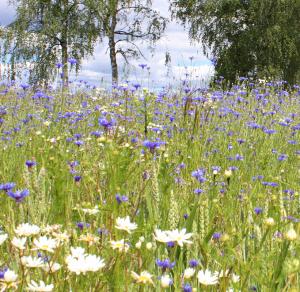 En blomsteräng i midsommartid ett vanligt år... I år när värmen kom så tidigt och envist bet sig fast ser det lite annorlunda ut. Frågan är om det går att samla sju sorters vilda blommor att lägga under kudden?<br /><br /><br /><br />