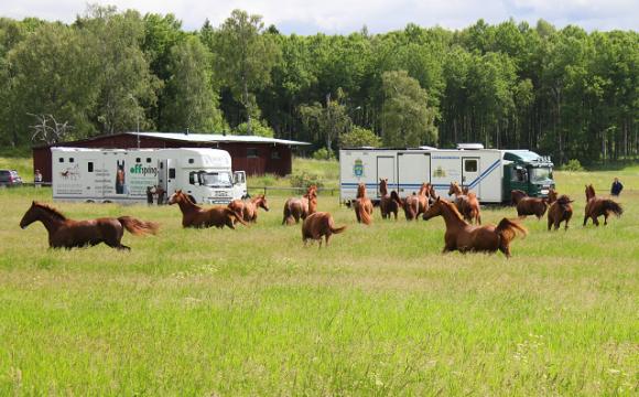 Att beridna högvaktens ståtliga hästar skulle släppas ut på sommarbete vid Lövsta i Bro fick vi veta genom ett läsartips.
