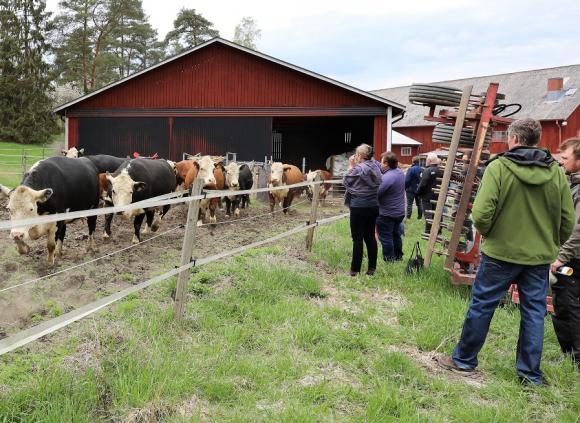 Ett vår-rus för kor! Glädjen var stor när Ekedals kor och kalvar släpptes ut på grönbete. Det syns ju inte på bilden, men det skuttades en hel del!