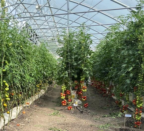 Tomater i långa rader. På Kvarnnibble Gård i Håbo-Tibble odlar man bland annat tomater.
