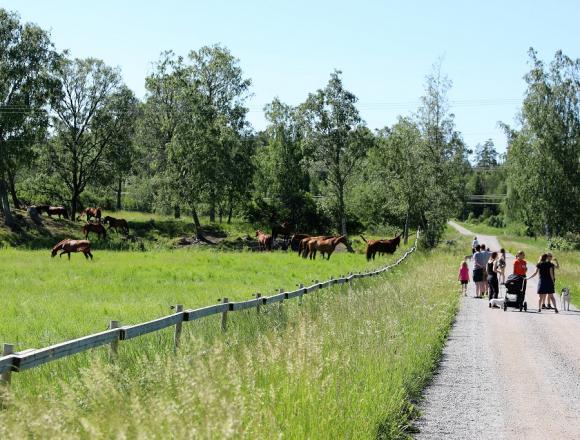 I tre omgångar kommer hästarna till Lövsta där de släpps ut på sommarbete i den vidsträckta hagen. I år kom första gänget redan någon dag i förväg.
