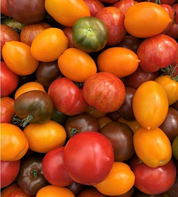 Några av tomatsorterna som odlas på Kvarnnibble.